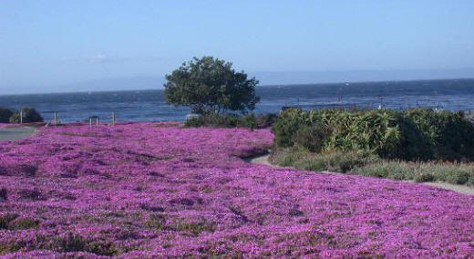 Pacific Grove, CA: Ice Plants Grow Along the Paths
